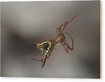 Arrow-shaped Micrathena Spider Starting A Web Wood Print