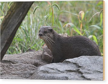 Asian Small Clawed Otter - National Zoo - 01137 Wood Print by DC Photographer