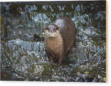 Asian Small-clawed Otter Wood Print by Paul Williams