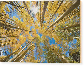Aspen Trees Looking Up Wood Print by John Hoffman