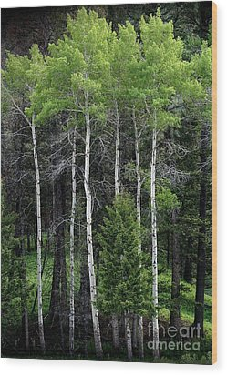 Aspens Of Yellowstone Wood Print by E B Schmidt