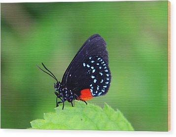 Atala Butterfly Wood Print