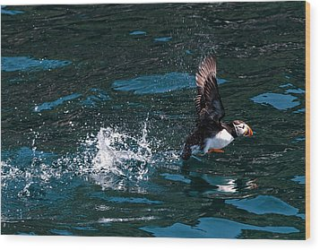 Atlantic Puffin Taking Off Wood Print