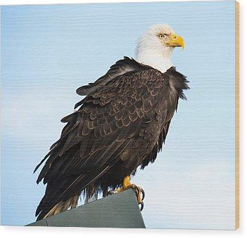 Attractive Bald Eagle Wood Print by Debra  Miller