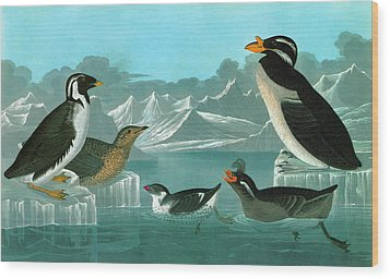 Audubon Auks Wood Print by Granger