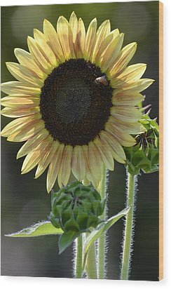 August Sunflower Wood Print by P S
