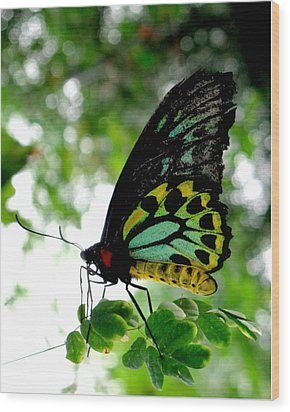 Australian Butterfly Cairns Birdwing Ornithoptera Priamus Wood Print by  Andrea Lazar