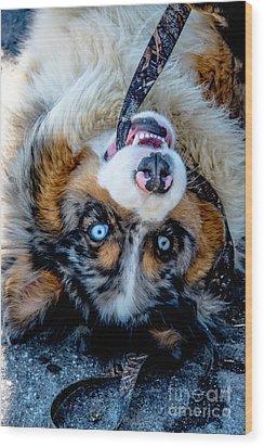 Australian Shepherd Wood Print by Cheryl Baxter