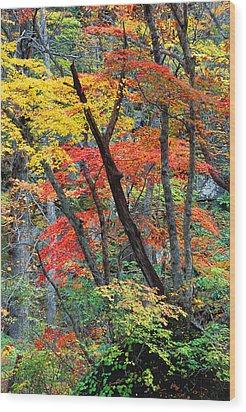 Autumn Color Japan Maples Wood Print by Robert Jensen