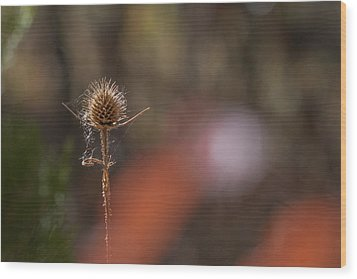 Wood Print featuring the photograph Autumn Dry Teasel by Jivko Nakev
