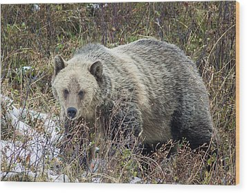 Wood Print featuring the photograph Autumn Grizzly by Jack Bell