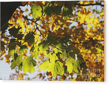 Wood Print featuring the photograph Autumn Light In Leaves by Lincoln Rogers