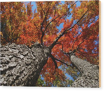Autumn Nature Maple Trees Wood Print by Christina Rollo