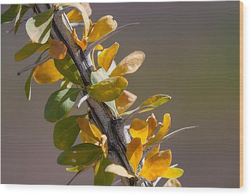 Autumn Ocotillo Wood Print by Beverly Parks