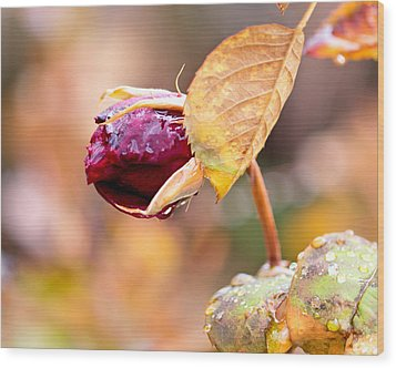 Wood Print featuring the photograph Autumn Rosebud by Rona Black