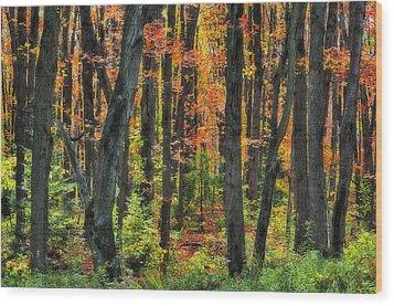 Autumn Sugar Maple, Yellow Birch And Wood Print by Thomas Kitchin & Victoria Hurst