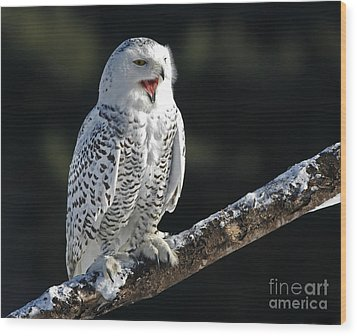 Awakened- Snowy Owl Laughing Wood Print by Inspired Nature Photography Fine Art Photography