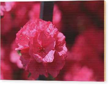 Azalea Bloom Wood Print