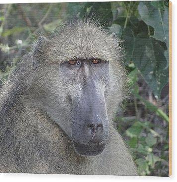 Baboon Portrait Wood Print