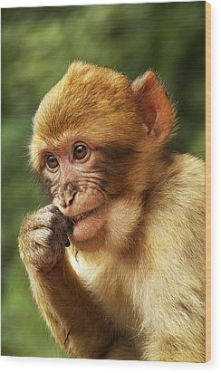 Wood Print featuring the photograph Baby Barbary Macaque by Selke Boris