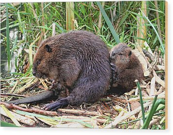 Baby Beaver With Mother Wood Print