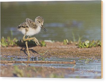 Baby Black-necked Stilt Exploring Wood Print by Bryan Keil