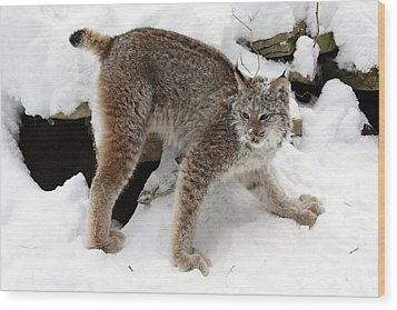 Baby Canadian Lynx Leaving The Winter Den Wood Print by Inspired Nature Photography Fine Art Photography