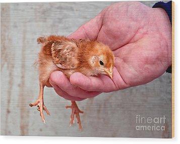 Baby Chick Being Held In Hand Wood Print by Valerie Garner
