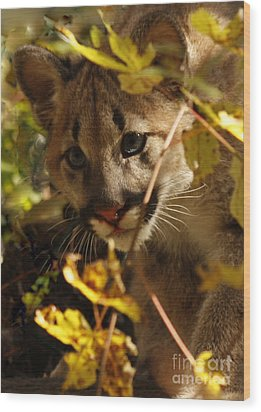 Baby Cougar Watching You Wood Print by Inspired Nature Photography Fine Art Photography