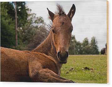 Baby Foal Wood Print