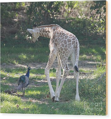 Baby Giraffe And Peacock Out For A Walk Wood Print