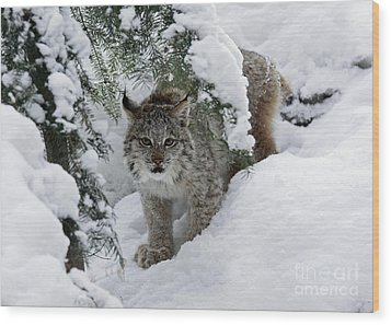 Baby Lynx Hiding In A Snowy Pine Forest Wood Print by Inspired Nature Photography Fine Art Photography