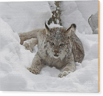 Baby Lynx In A Winter Snow Storm Wood Print by Inspired Nature Photography Fine Art Photography