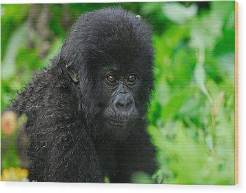 Baby Mountain Gorilla Wood Print by Stefan Carpenter