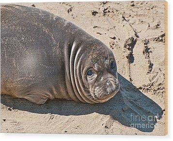 Baby Northern Elephant Seals Mirounga Angustirostris At The Piedras Blancas Beach Wood Print by Jamie Pham