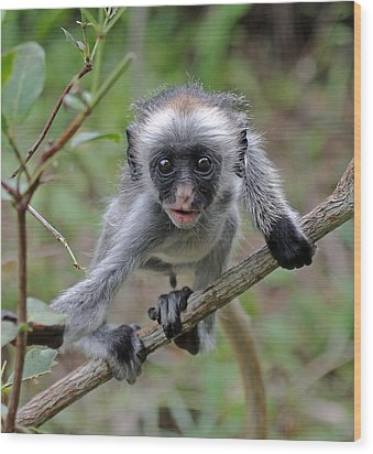 Baby Red Colobus Monkey Wood Print by Tony Murtagh