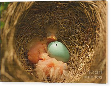 Baby Robins2 Wood Print by Loni Collins