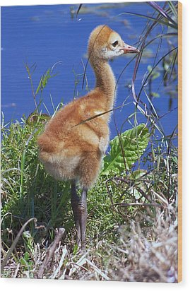 Wood Print featuring the photograph Baby Sandhill Crane 064  by Chris Mercer