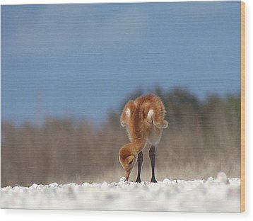 Wood Print featuring the photograph Baby Sandhill Crane 072 by Chris Mercer