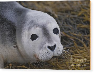 Baby Seal Wood Print by DejaVu Designs