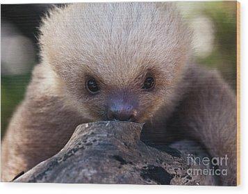 Baby Sloth 2 Wood Print by Heiko Koehrer-Wagner