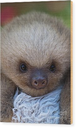 Baby Sloth Wood Print by Heiko Koehrer-Wagner