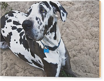Bacchus The Great Dane Wood Print by Sharon Cummings
