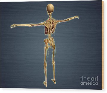 Back View Of Human Skeleton Wood Print by Stocktrek Images