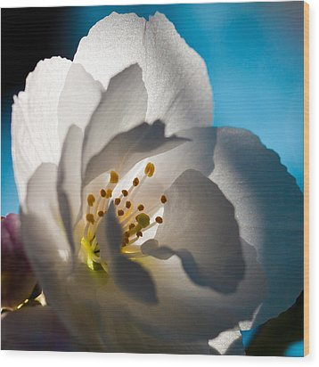 Backlit Cherry Blossom Wood Print by David Patterson