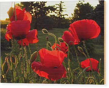 Backlit Red Poppies Wood Print by Mary Wolf