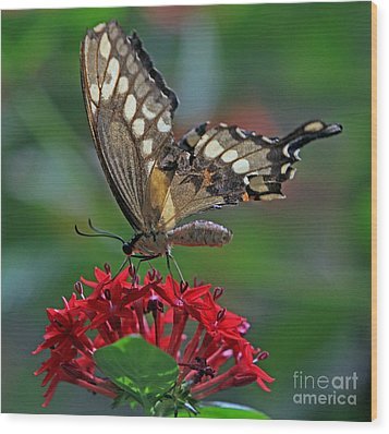 Backlit Swallowtail Wood Print by Larry Nieland