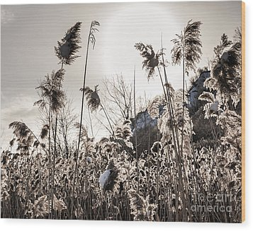 Backlit Winter Reeds Wood Print by Elena Elisseeva