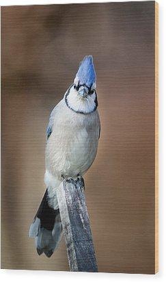 Backyard Birds Blue Jay Wood Print