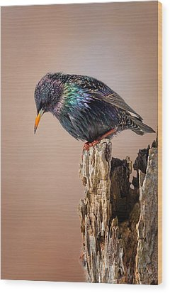 Backyard Birds European Starling Wood Print by Bill Wakeley